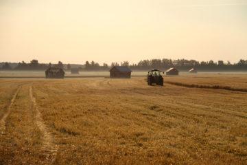 Ett kornfält där produktionen går till Koskenkorvas vodka.